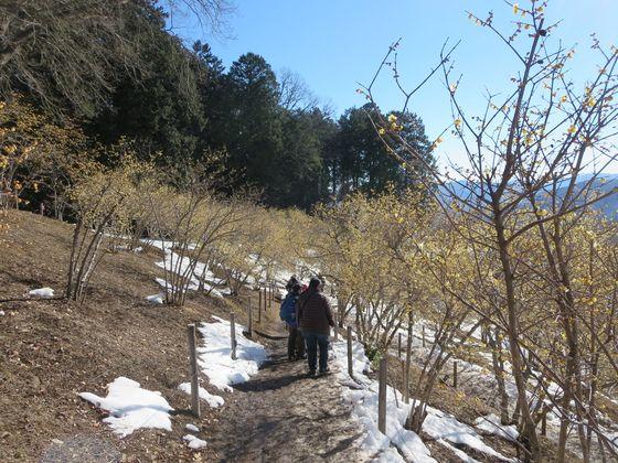 宝登山 ロウバイ園5
