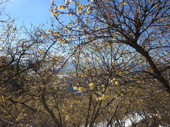 宝登山 ロウバイ園6