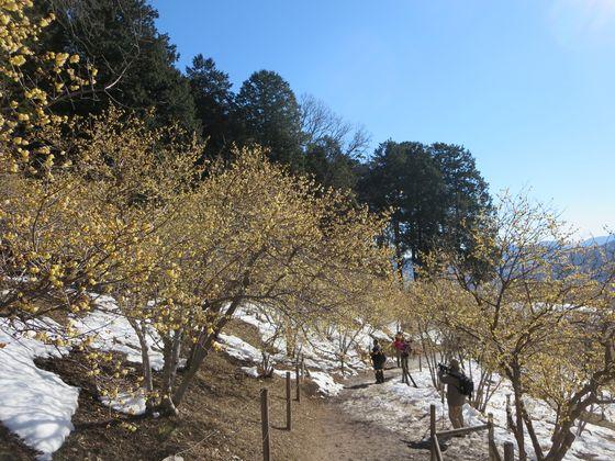 宝登山 ロウバイ園1