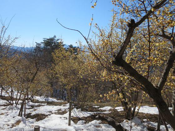 宝登山 ロウバイ園2