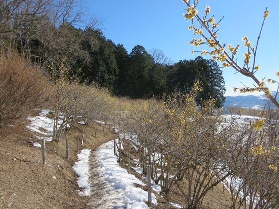 宝登山 ロウバイ園10