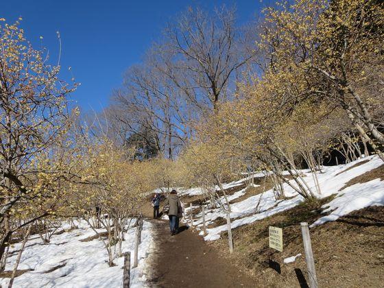 宝登山 ロウバイ園12