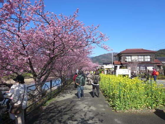 河津桜 菜の花ロード