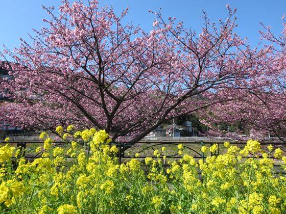 河津桜 菜の花ロード2