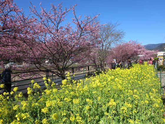 河津桜 菜の花ロード3