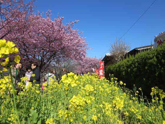 河津桜 菜の花ロード5