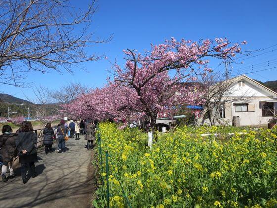 河津桜 菜の花ロード6