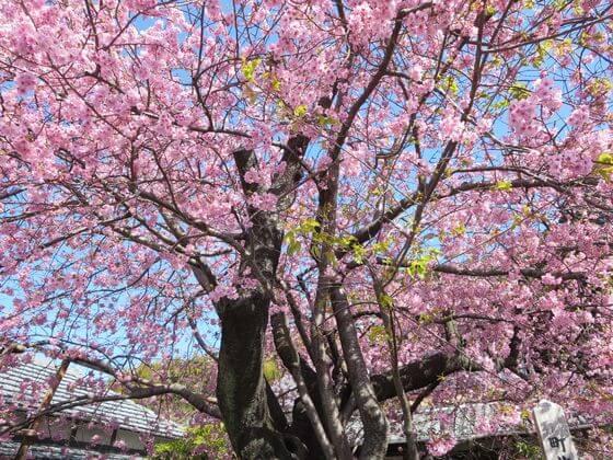 原木 河津桜