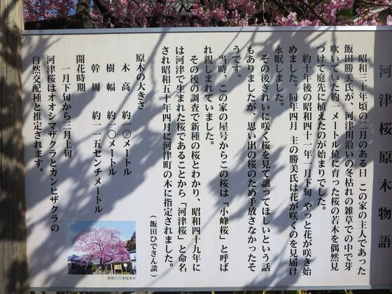 河津桜 説明文
