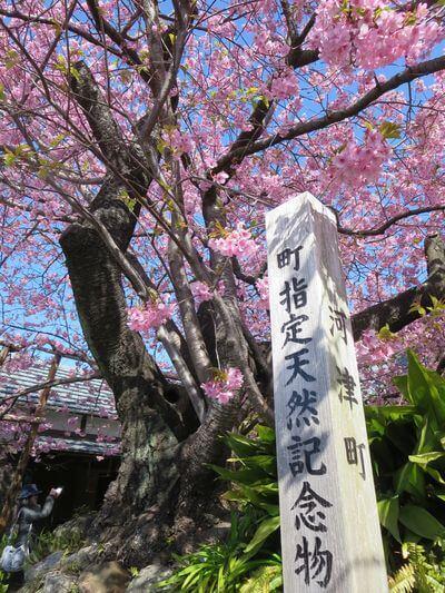 河津桜 町指定の天然記念物