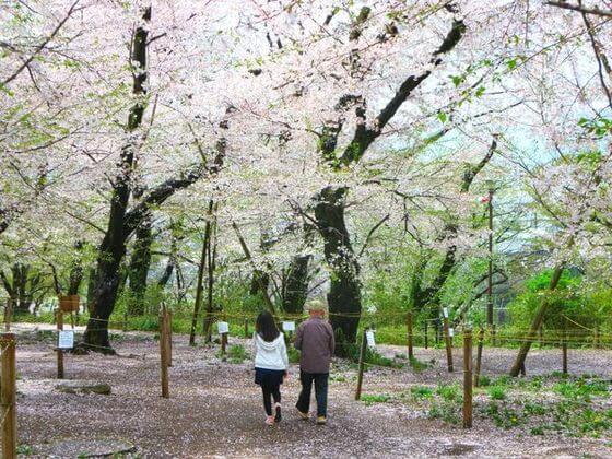 洗足池公園 桜山