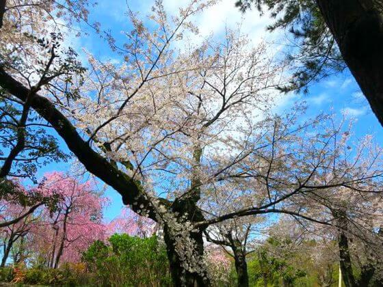 洗足池公園 桜2
