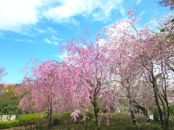 洗足池公園 桜