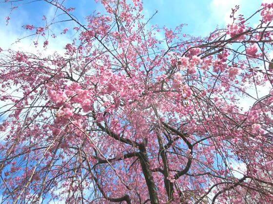 洗足池公園 桜3