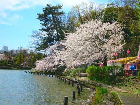 桜 洗足池