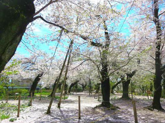 洗足池 桜山