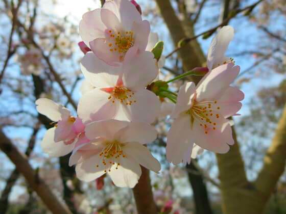 洗足池公園 桜 見頃
