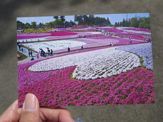 芝桜 写真ハガキ
