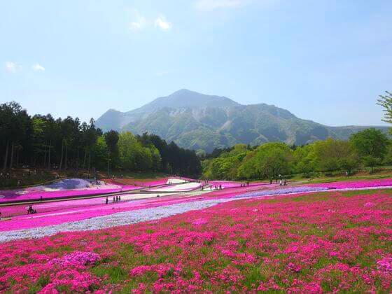 秩父 芝桜 武甲山