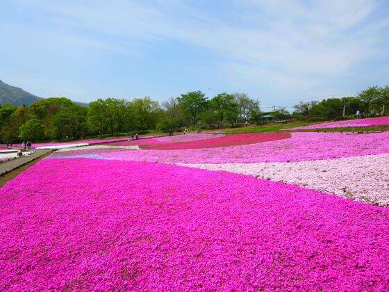 秩父 芝桜 写真