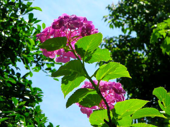 東慶寺 紫陽花