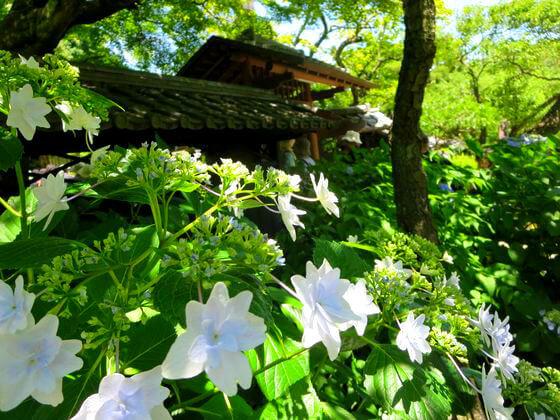 紫陽花 東慶寺