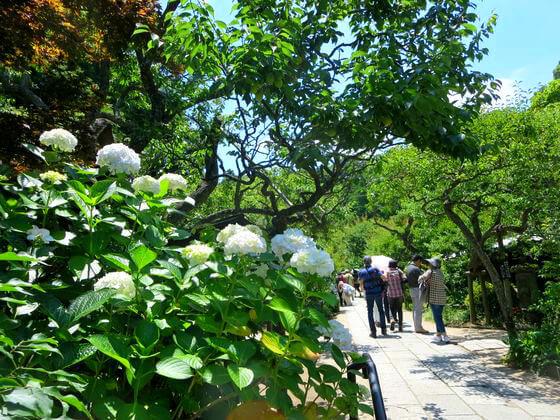鎌倉 東慶寺 紫陽花