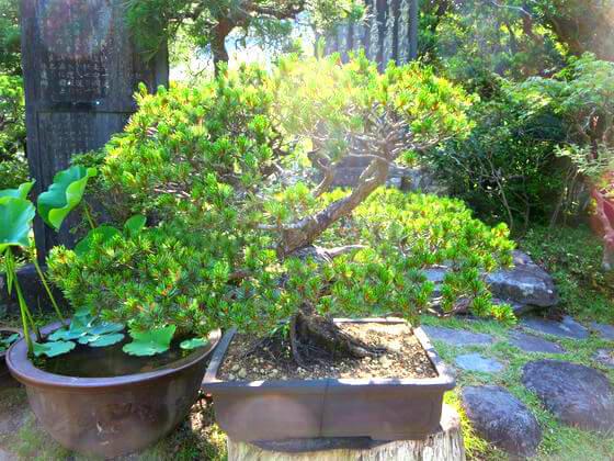 光則寺 盆栽
