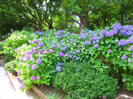 紫陽花 多摩川台公園