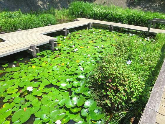 水生植物園 スイレン