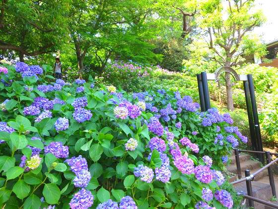 多摩川台公園 紫陽花