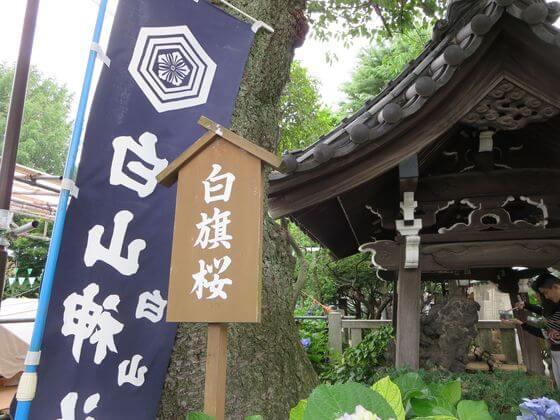 白山神社 白旗桜