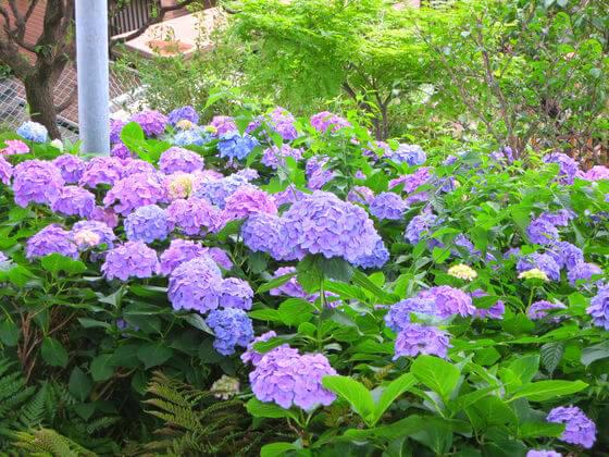 白山神社 富士塚 紫陽花