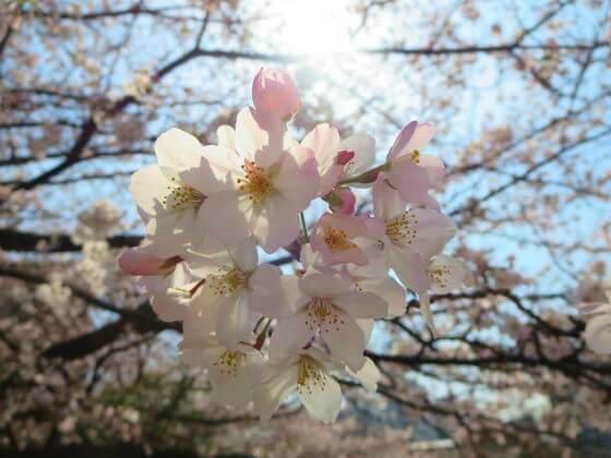 池上本門寺 桜 開花