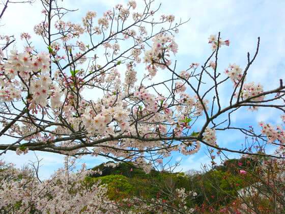 桜 平家池