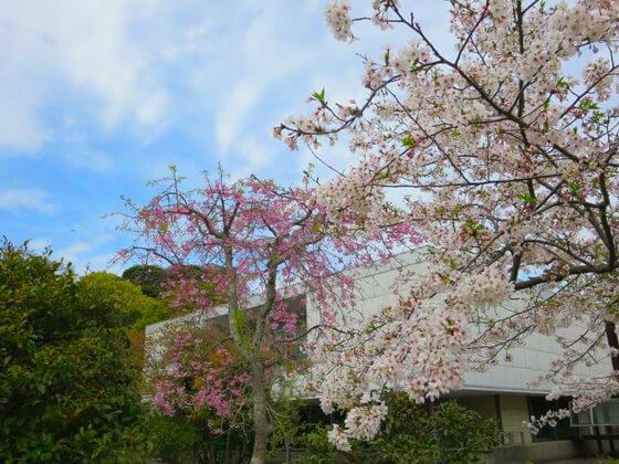 平家池の桜