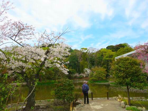 平家池 桜 景色