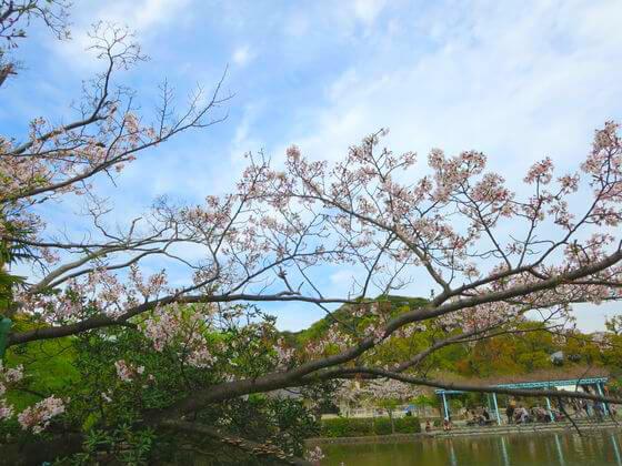 鶴岡八幡宮 源氏池 桜