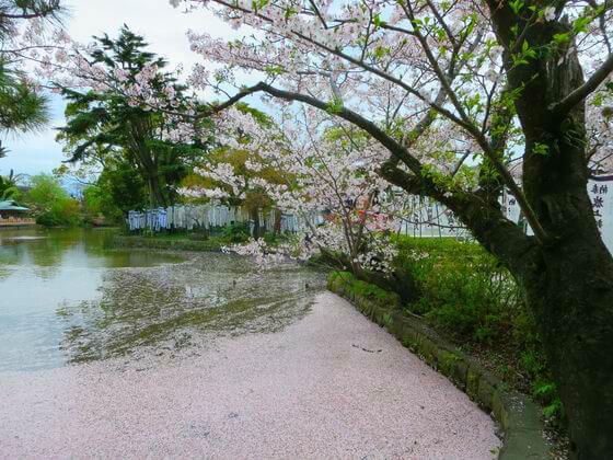 桜 源氏池