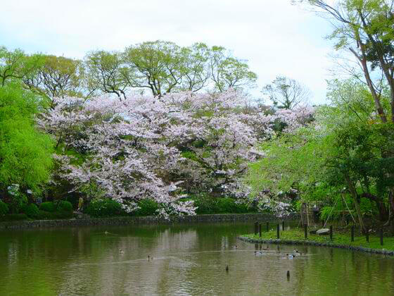 源氏池 桜 景色