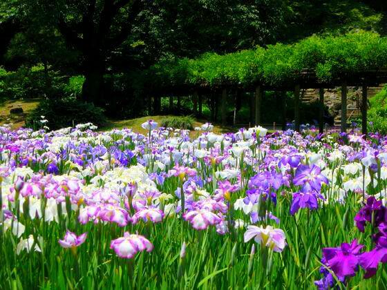 花菖蒲 小石川後楽園