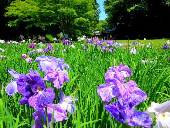 鎌倉 明月院 花菖蒲
