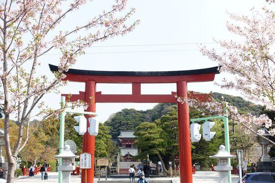 鶴岡八幡宮 桜