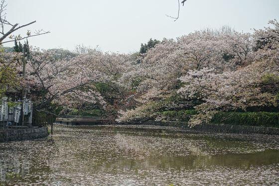 鶴岡八幡宮 お花見