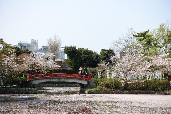 鶴岡八幡宮 桜 見頃