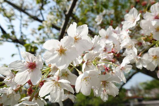 鶴岡八幡宮 桜 開花状況