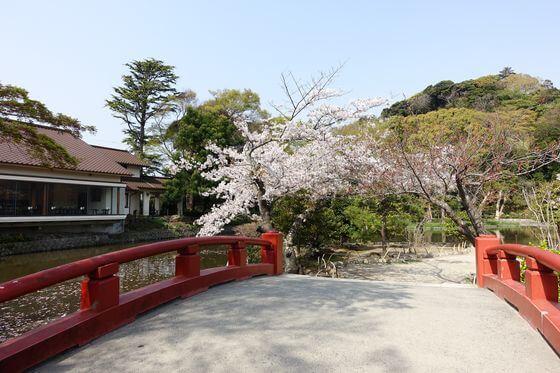 鶴岡八幡宮 平家池 桜