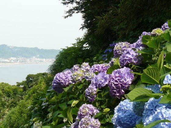 成就院 紫陽花