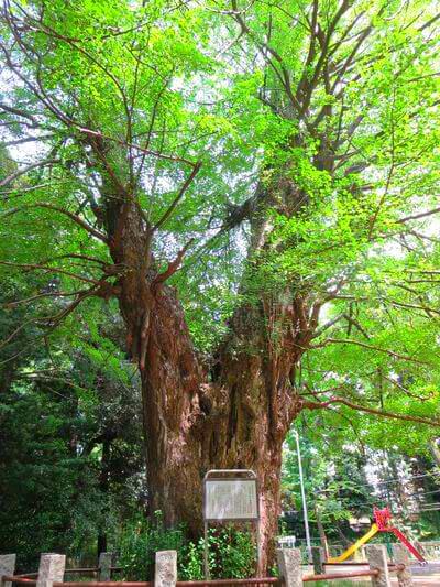 赤坂氷川神社 イチョウ