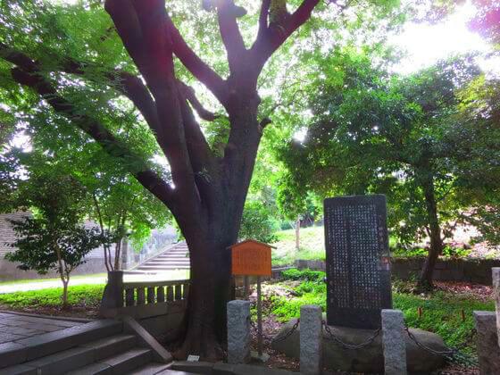 湯島聖堂 楷樹